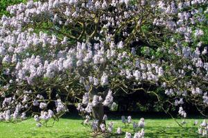 В Ужгороде расцвели Адамовы деревья