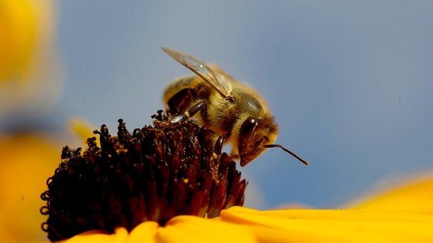 В государствах ЕСзапретили убивать пчел