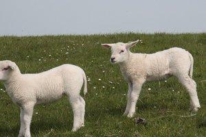 Украинец пытался перегнать в Россию трех овечек
