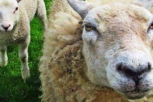 Доказано, что овцы пагубно влияют на здоровье людей