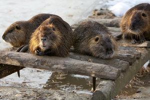 На Волыни из-за загрязнения воды гибнут бобры