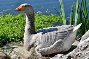 Погоня гусей за аллигатором: забавное видео