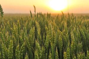 Погода и нехватка влаги могут оставить Крым без урожая