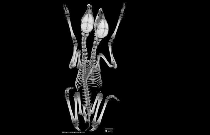 ВСША отыскали олененка с 2-мя головами