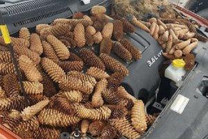 Белки затащили под капот машины 23 килограмма шишек