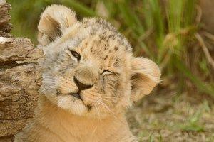 Львиный прайд бердянского зоопарка пополнился малышками-львицами