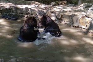 Мишки от скуки устроили драку, не выходя из бассейна: видео