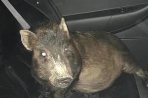 В США полиция спасла мужчину от преследований свиньи