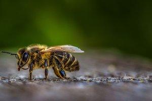 Популяция пчел находится под угрозой вымирания
