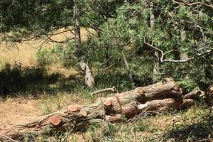 В Крыму оккупанты уничтожают вековые деревья из Красной книги: соцсети негодуют