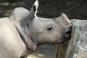 Ученые начинают клонировать белых носорогов, чтобы спасти вид