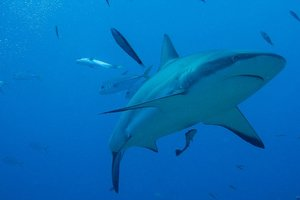 Акула утащила рыбака вместе с лодкой: первое видео