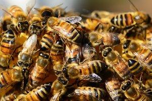 В Днепропетровской области массово гибнут пчелы: пасечники убытки оценивают в миллионы гривен