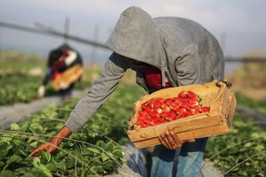 Украинские фермеры активно взялись за клубнику