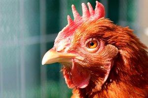 В США скрестили курицу и человека