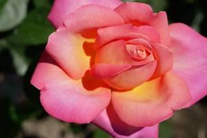 В киевском ботсаду массово цветут необычные розы