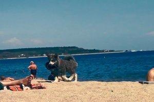 Видеохит: на пляже в Одессе милый щенок хаски ворует тапки отдыхающих
