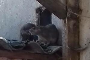 Мешканці будинку в центрі Одеси страждають через щурів, один з них упав у возик до дитини