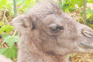 В Харькове выбирают имя милому верблюжонку