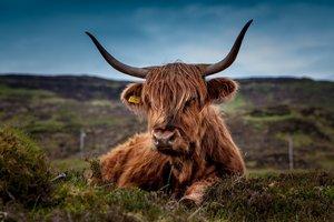 Ученые раскрыли тайну вымерших коров с бульдожьей мордой