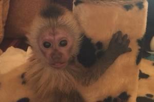 Капуцин Капа из бердянского зоопарка празднует первый месяц: появилось забавное видео