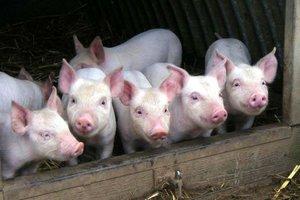В Запорожской области обнаружили африканскую чуму свиней