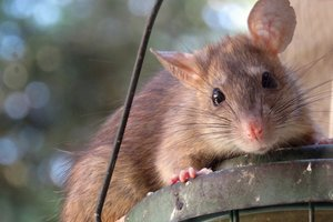 Гигантскую крысу размером с кота показали на фото: известна причина аномалии