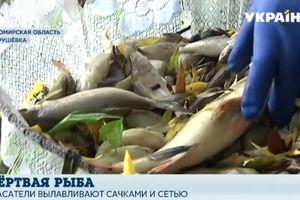 За два часа выловили 200 кг: в реке в Житомирской области массово гибнет рыба