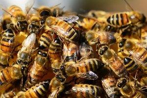 В Украине продолжают массово гибнуть пчелы