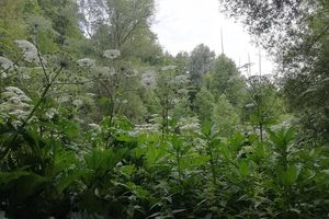 Кто в Киеве уничтожает ядовитые сорняки