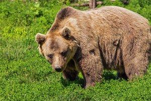 Медведь-нахал съел завтрак американки