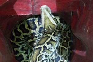 В Киеве на улице поймали огромную змею