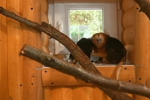 В Черкасском зоопарке поселились золотистоголовые миниатюрные обезьяны