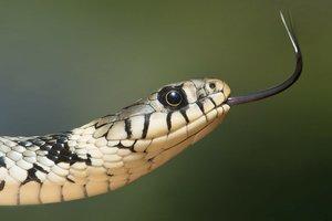 Из эры динозавров: ученые нашли самую древнюю в мире змею (фото)