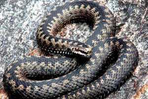 Змеи атакуют: во время сбора грибов пострадали два человека