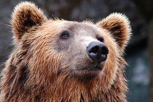 """В РФ медведей могут признать """"стратегическим ресурсом"""""""