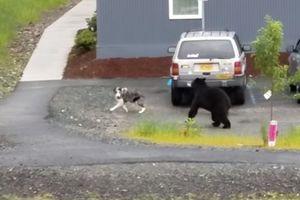 Видеошок: медведь устроил погоню за дружелюбной собакой