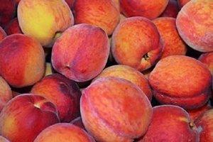 Во Львовской области собирают рекордный урожай персиков