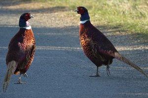В Винницкой области для спасения лесов выпустили две сотни фазанов