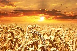 Минагропрод прогнозирует урожай пшеницы меньше прошлогоднего
