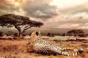 Четыре гепарда жестко набросились на самку: появилось видео
