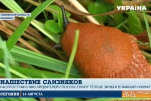 Рыжие испанские слизни атакуют огороды украинцев