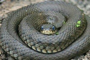 Змея-убийца: львовская прокуратура открыла уголовное производство