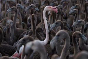 В Испании начался сезон кольцевания фламинго