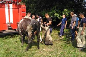 В Киевской области из опасной ловушки спасали корову