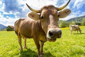Как сошлись люди и коровы: история приручения