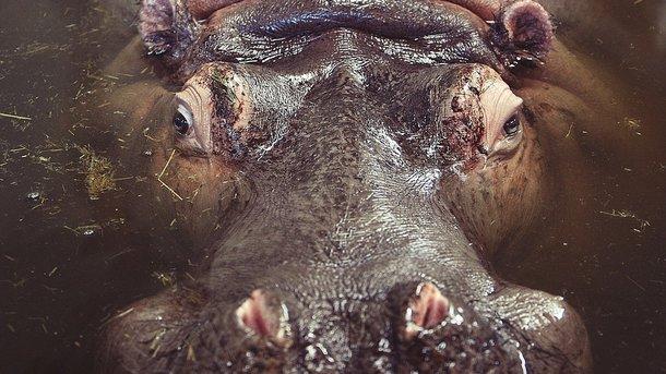 Бегемот убил рыбака, который спасся открокодила