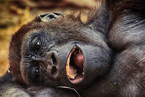 Скорбящая обезьяна-мать с мертвым детенышем на руках покорила сеть