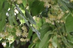 В Ужгороде разгорелся спор между горожанами и властями из-за липовой аллеи