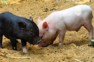 Свиней в Украине становится все меньше